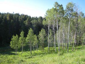 Green aspen trees and blue sky in Greenridge Ranch